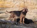 Otterhound 3