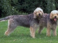 Otterhound 4