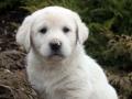 Pyrenean Mastiff puppy 1