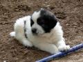Pyrenean Mastiff puppy 2