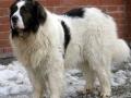 Pyrenean Mastiff 4