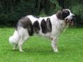 Pyrenean Mastiff 5