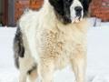 Pyrenean Mastiff 6
