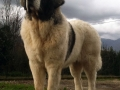 Pyrenean Mastiff 8
