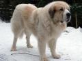 Pyrenean Mastiff 9