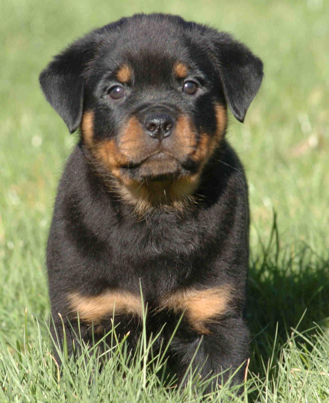 Rottweiler All Big Dog Breeds