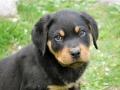 Rottweiler puppy 1