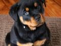 Rottweiler puppy 2