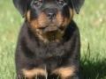 Rottweiler puppy 3
