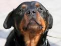 Rottweiler puppy 4