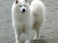 Samoyed 7