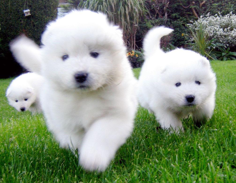 Samoyed Dog All Big Dog Breeds