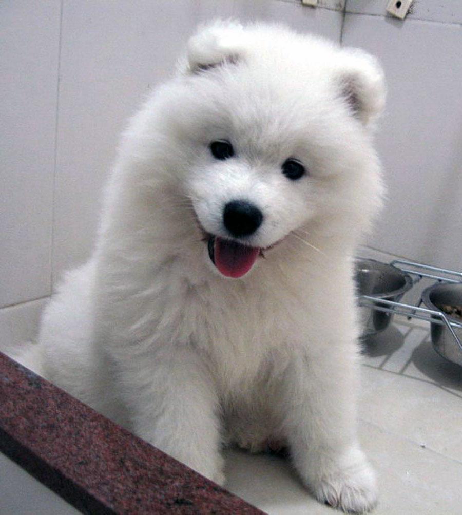 Grey Fluffy Dog Breed