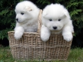 Samoyed puppy 01