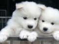 Samoyed puppy 02