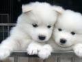 Samoyed puppy 02