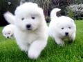 Samoyed puppy 03