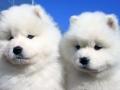 Samoyed puppy 04