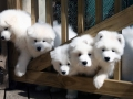 Samoyed puppy 05