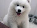 Samoyed puppy 06