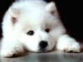 Samoyed puppy 07
