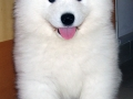 Samoyed puppy 08