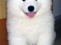 Samoyed puppy 08
