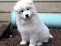 Samoyed puppy 09