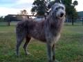 Scottish Deerhound 2