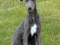 Scottish Deerhound 4