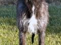 Scottish Deerhound 5