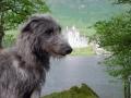 Scottish Deerhound 6
