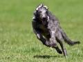 Scottish Deerhound 7