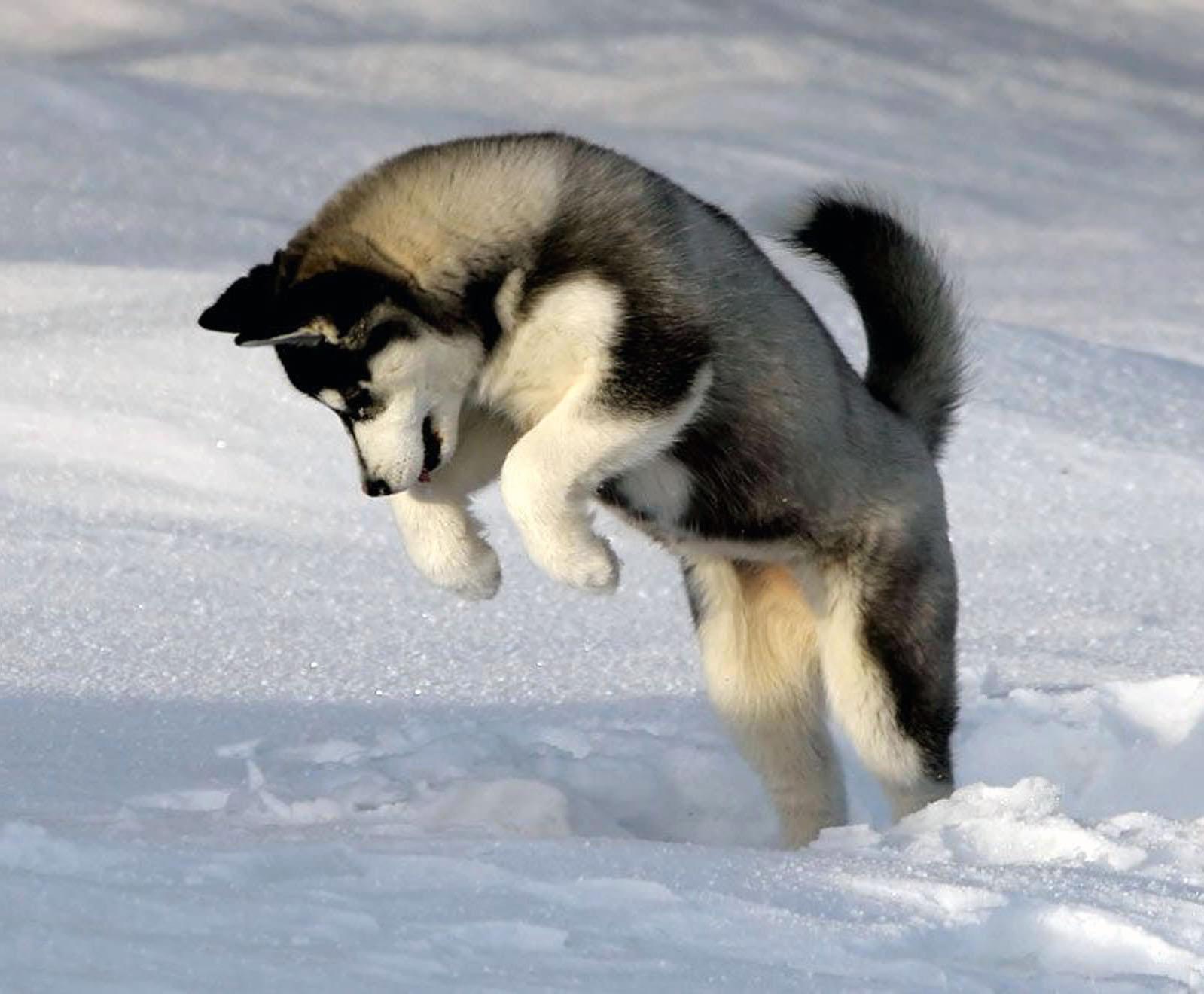 What Dog Is Like A Big Husky