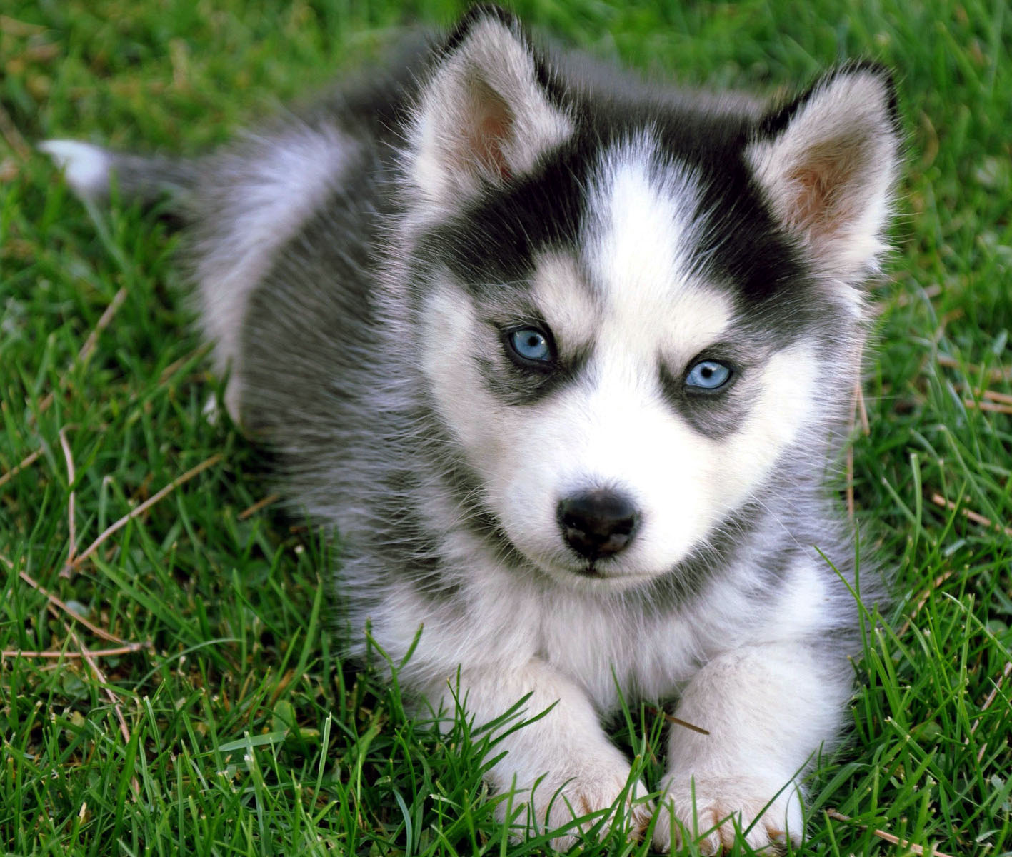 siberian husky all big dog breeds