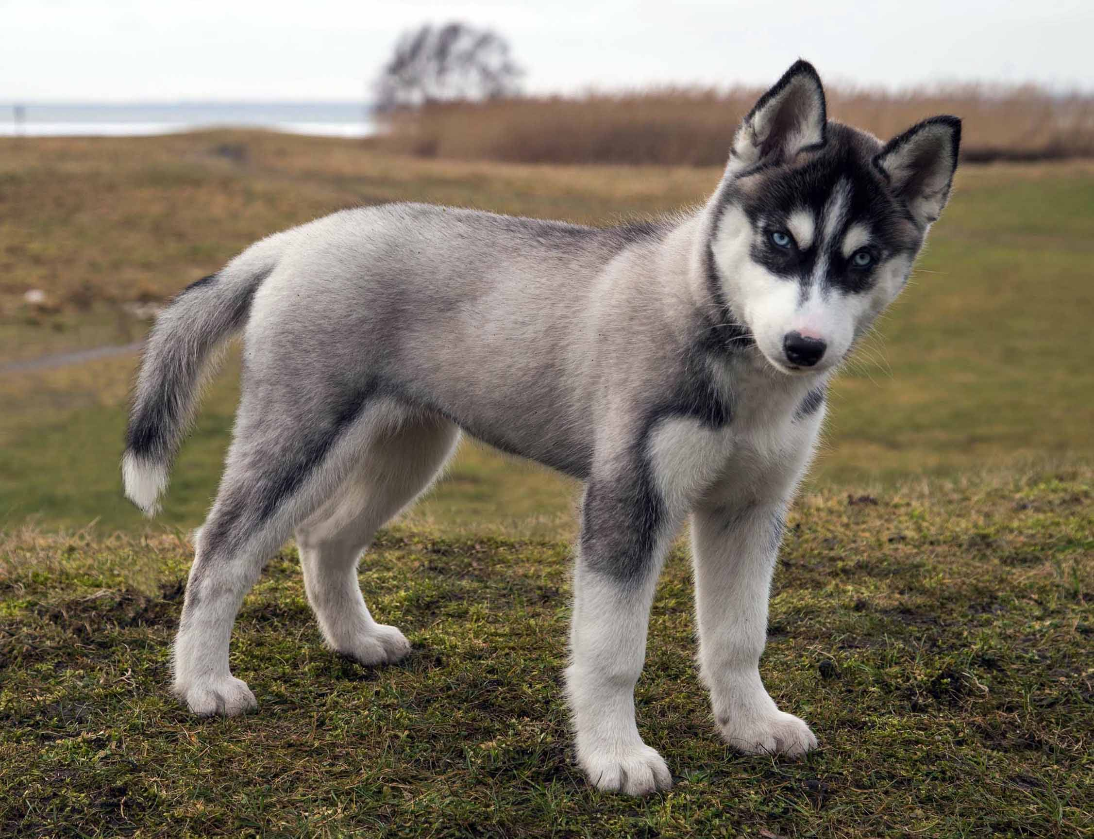 Big Husky Dog Names