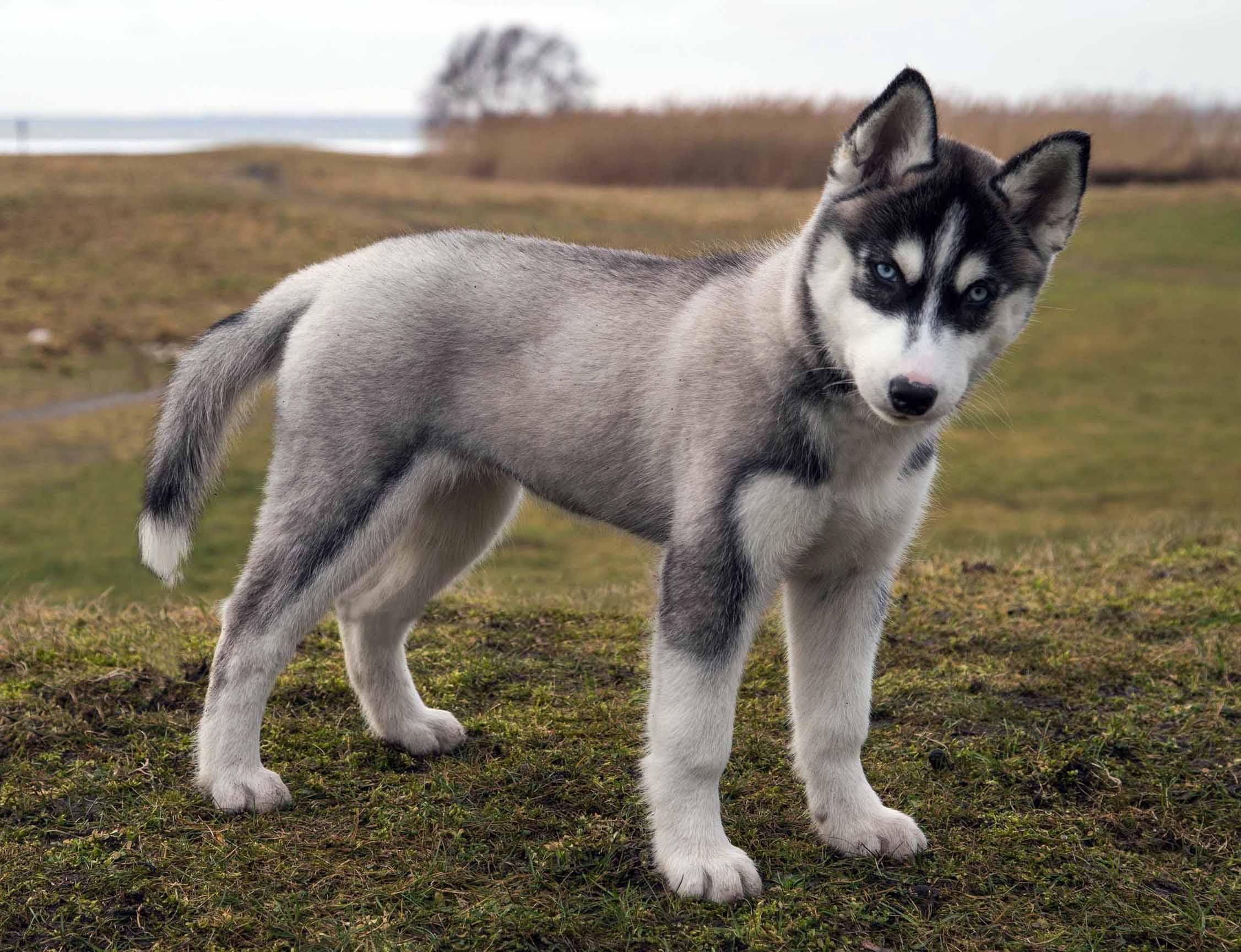 Index of wp contentgallerysiberian husky puppies siberian husky puppy 5g voltagebd Image collections