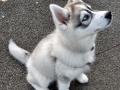 Siberian Husky puppy 1