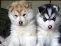 Siberian Husky puppy 2