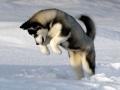 Siberian Husky puppy 3