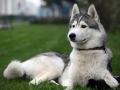 Siberian Husky 4