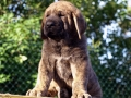 Spanish Mastiff puppy 1
