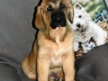 Spanish Mastiff puppy 2