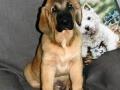 Spanish Mastiff puppy 2