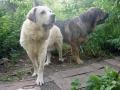 Spanish Mastiff 2