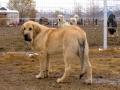 Spanish Mastiff 6