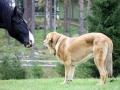 Spanish Mastiff 7