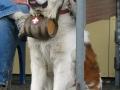 A_St._Bernard_dog_with_barrel
