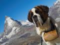 Saint Bernard Dog 6