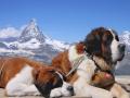 Saint Bernard Dog 7